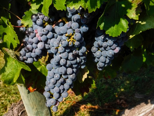 Grapes at Marquis de Riscal Bodegas