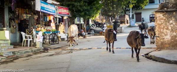 Streets of Udaipur India cow