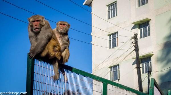 shimla-monkeys-226113