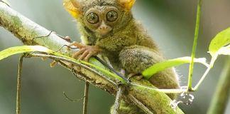 kera tarsius hewan unik indonesia