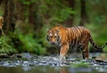 perbedaan harimau sumatera dan macan