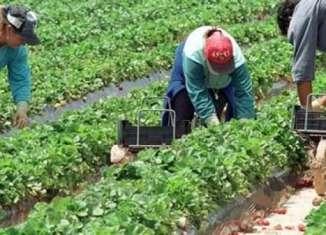 Majoritatea românilor care lucrează în agricultură în sudul Italiei sunt angajați la negru (Foto: Gazeta Românească)
