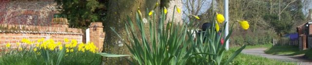 Daffodils on the Knoll, Great Snoring