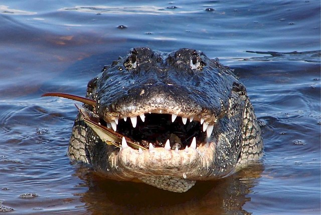 "Feeling Lucky?  The Alabama Alligator Harvest ""Lottery"" is Open!"