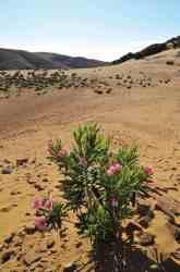 Ammothines, Lemnos Greece, beach flowers so often found in Greece