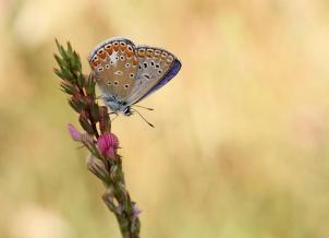 Agrodiaetus thersites, photo: Ζαραλής Χρήστος