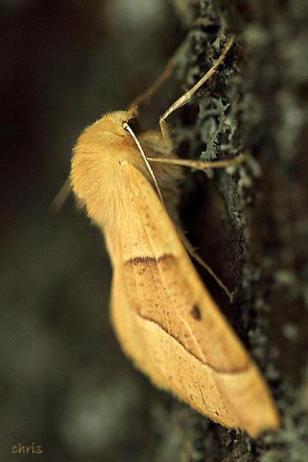 Crocallis elinguaria, Όλυμπος, photo: Βλάχος Χρήστος
