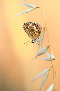 Aricia agestis. photo: Ζαραλής Χρήστος