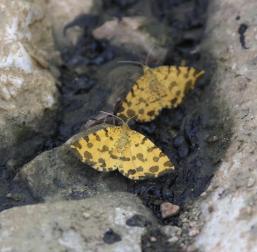 Pseudopanthera macularia, Φαλακρό, photo: Άρης Χρηστίδης