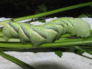 Αcherontia atropos- photo Γιάννης Γαβαλας