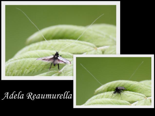 Adela reaumurella-φωτογραφος: Χρίστος Δημαδης