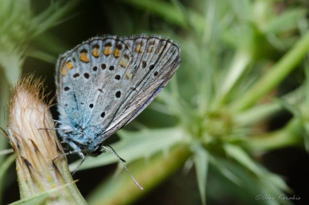 Polyommatus amanda (αμφιβολη παρατηρηση)-Παρνασσος