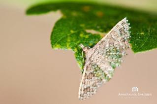 Alucita hexadactyla-photo by Tassos Sakoulis