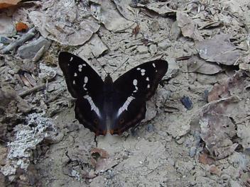 Apatura iris/Βοιο ορος- photo by Βασίλης Τζούλης
