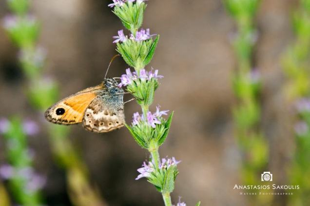 Coenonympha thyrsis-photo by Tassos Sakoulis