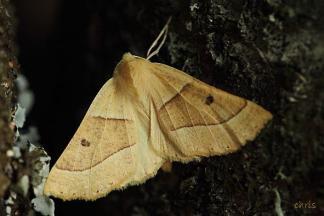 Crocallis elinguaria photo by: Chris Vlachos