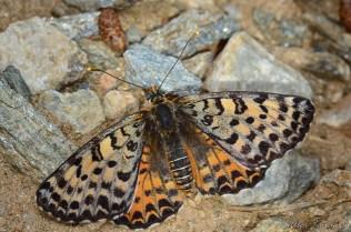 Melitaea phoebe, female -Samos