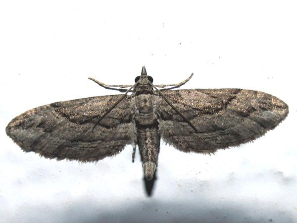 Eupithecia pusillata--photo by Γιαννης Γαβαλας