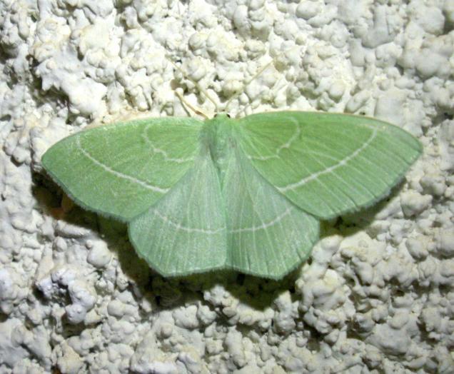 Hemistola chrysoprasaria -photo by Χρίστος Δημάδης