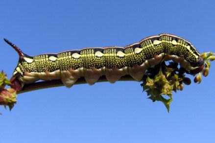 Hyles lineata livornica- photo Γιάννης Γαβαλας