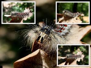 Lymantria dispar Οικ. Lymantriidae Φωγραφος:Xristos Dimadis