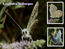 Lysandra bellargus-photo by Xristos Dimadis