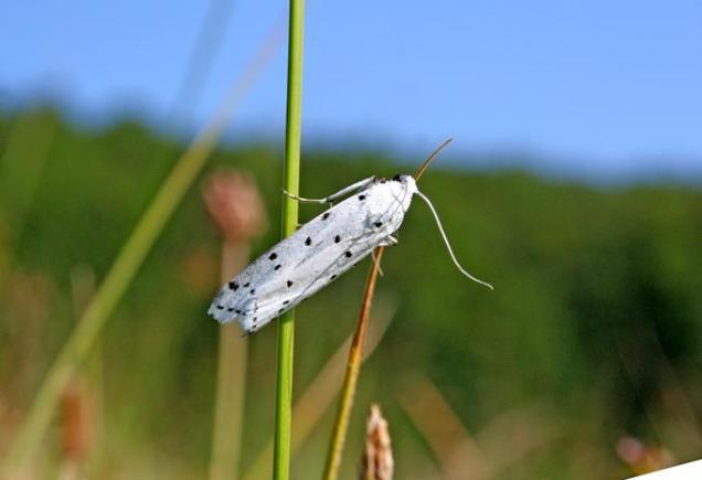 Myelois circumvoluta-photo by Αναστασιος Βασιλείου