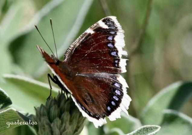 Nymphalis antiopa, Κέρκυρα ~500μ, 22/4/2012-photo by Giannis Gasteratos