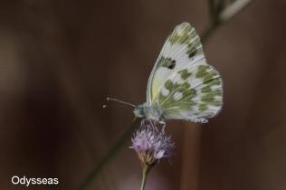 Pontia edusa-photo by Tsimoulis Odysseas