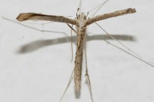 Pterophorus monodactyla-photo by Γιαννης Γαβαλας