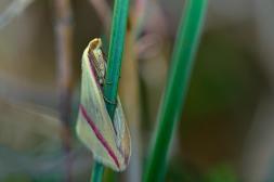 Rhodometra sacraria-photo by Tassos Sakoulis