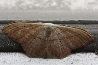 Scopula imitaria-photo by Pavlos Andriopoulos