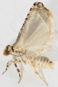 Gypsonoma dealbana -photo Γιαννης Γαβαλάς