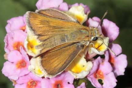 Thymelicus acteon-photo Γιαννης Γαβαλάς