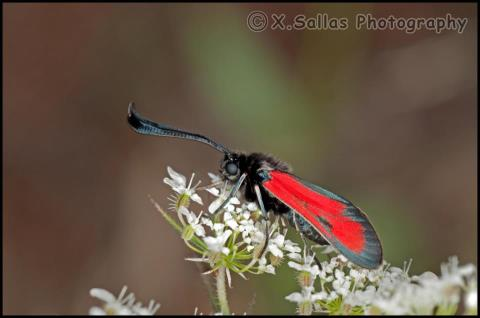 Zygaena purpuralis-photo by Xristos Sallas