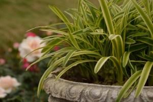 オリヅルランは観葉植物の代表格