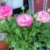 ラナンキュラスが華やかに開花してきた