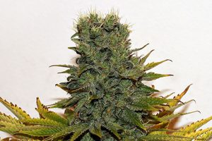 Buy White widow (hybrid) online:  what you need to know