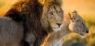 3 Things You Can Do For World Lion Day #5forBigCats