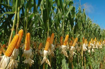 corn_Brazil