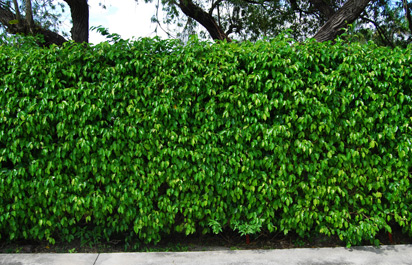 Indian Wells Ficus Hedge Could Cost 10 Million