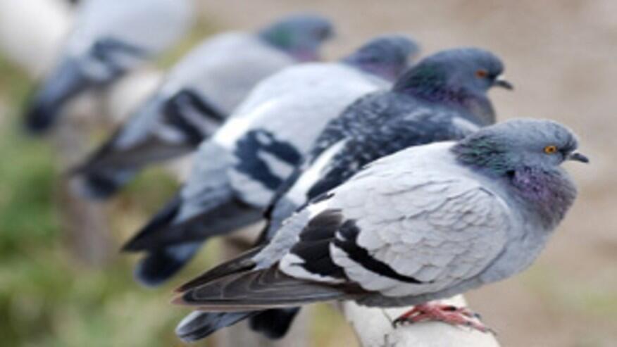 Les oiseaux de la ville sont plus agressifs que leurs homologues réels