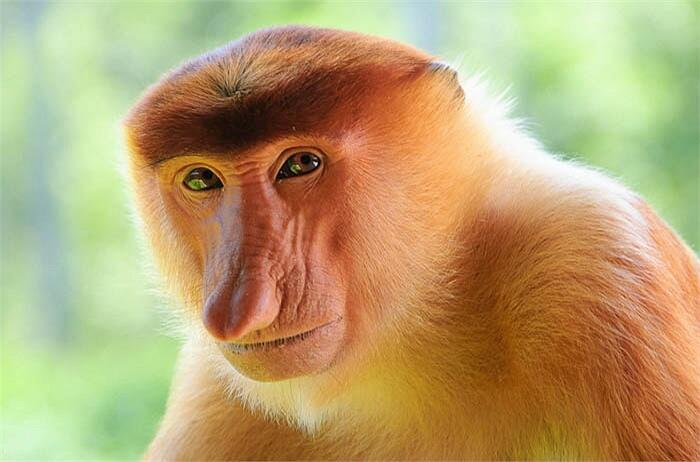 large-nose-monkey.jpg
