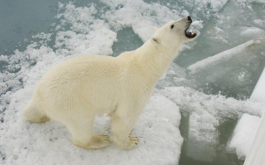 The polar bear is in real danger