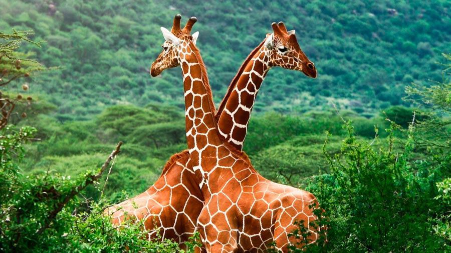 Four species of African giraffe