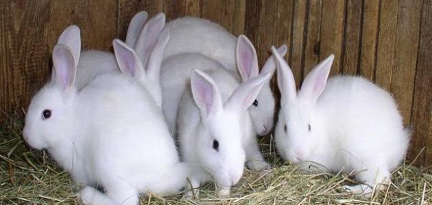 بمقدور إناث الأرانب الحمل من جديد بمجرد الإنجاب. وهو ما يعني أنها تصبح فعليا بصدد العناية بمجموعتين من الأرانب بشكل متزامن؛ إحداها وليدة، والأخرى لا تزال داخل الرحم.