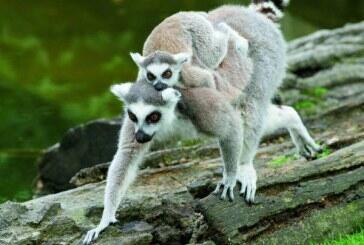 ولادة توأمين من قردة الليمور في حديقة حيوانات بالنمسا