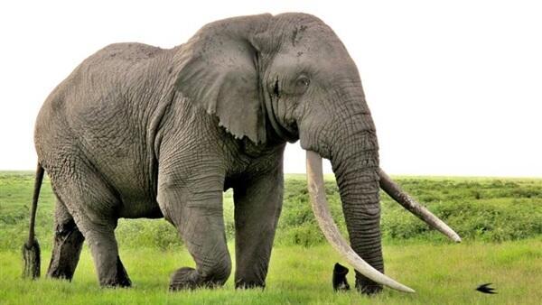 يستطيع الفيل شم رائحة الإنسان على بعد ما يقارب 500 متر