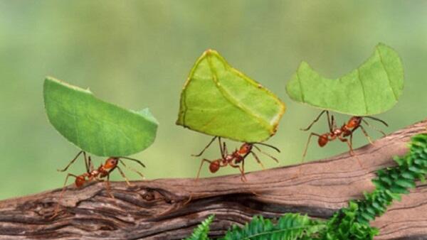 النمل محارب ومزارع يرفض العبودية