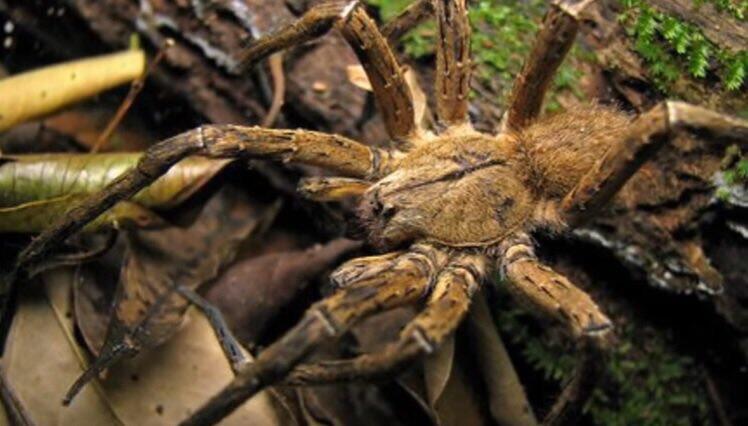 أضخم أنواع العناكب تعيش الان في البرازيل و يبلغ وزنها 58 كغ